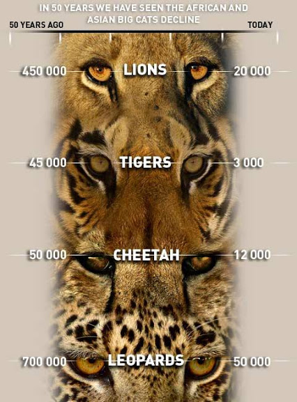 big cat numbers