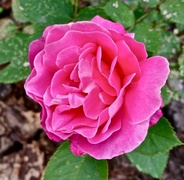 Роза 0614