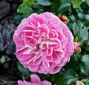 Роза 07 0714