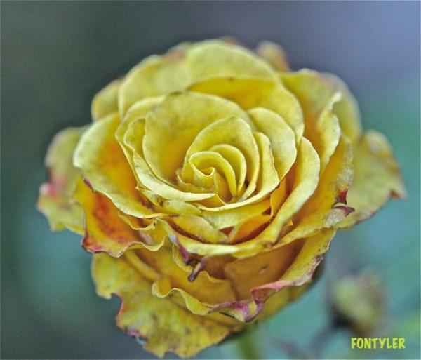 Роза увядает Июль14