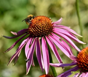 CONE FLOWER BEE