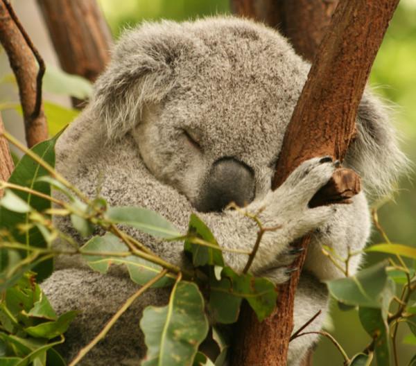 cuddly-koala