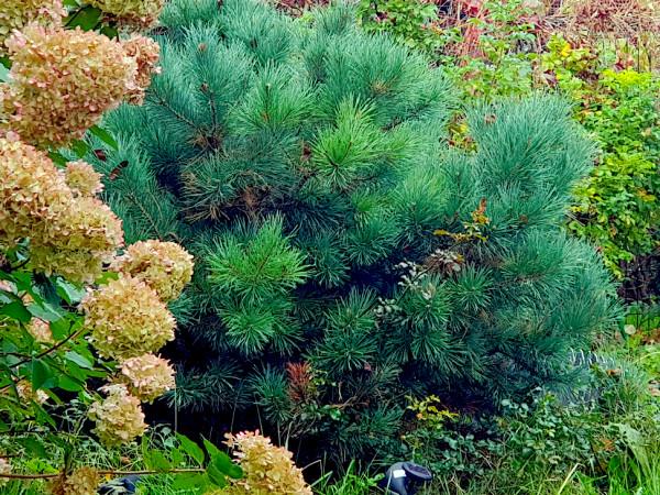 Pine 2.jpg