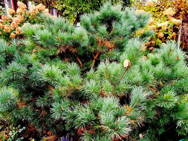 Pine 4.jpg