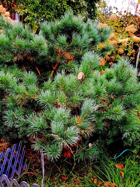 Pine 3.jpg