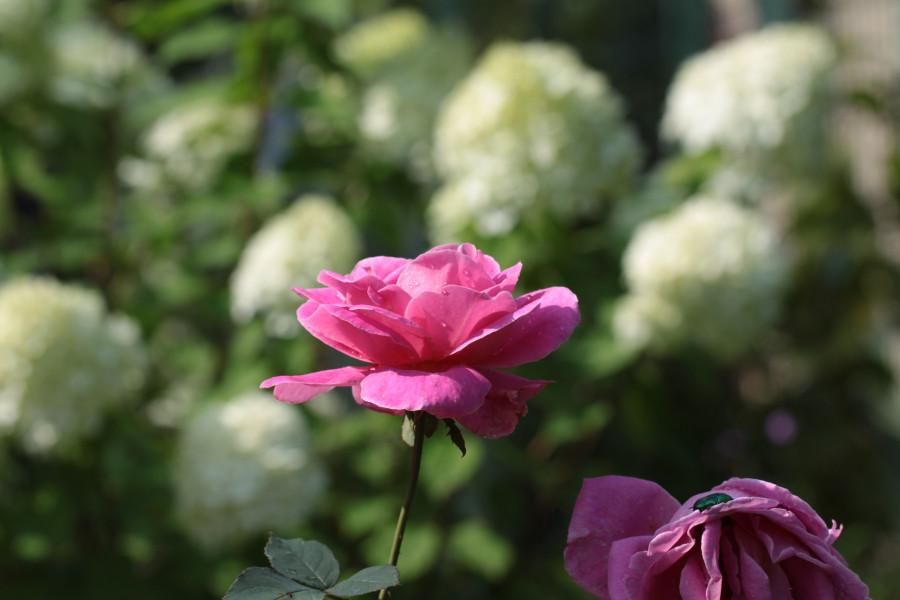 Роза и фон