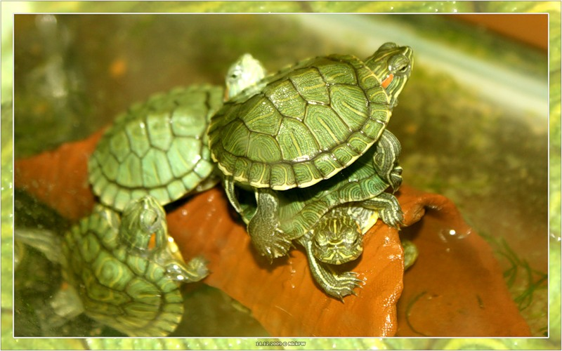 Черепахи в зоомагазине © NickFW.ru 14.12.2009г.