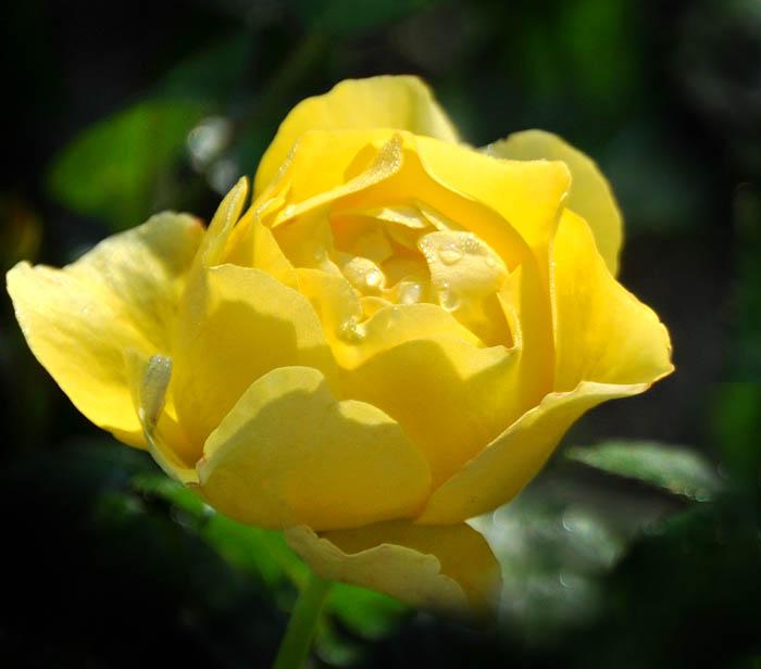 01 Rose Garden A