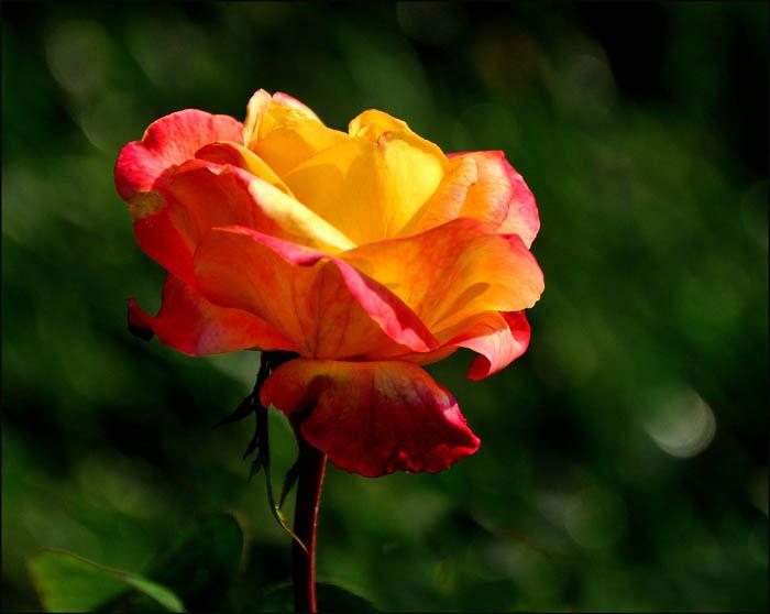 01 Rose Garden D