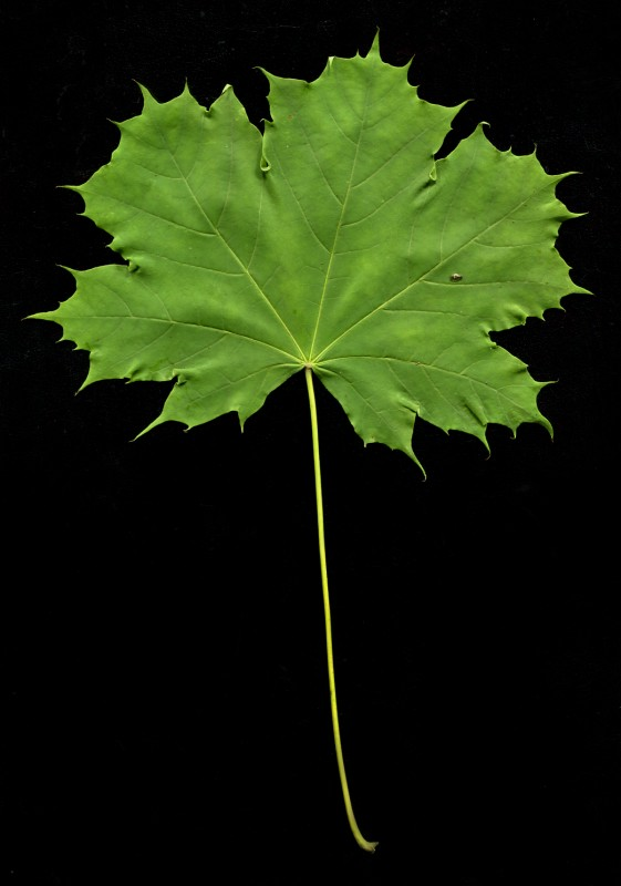 hi res leaf a.jpg
