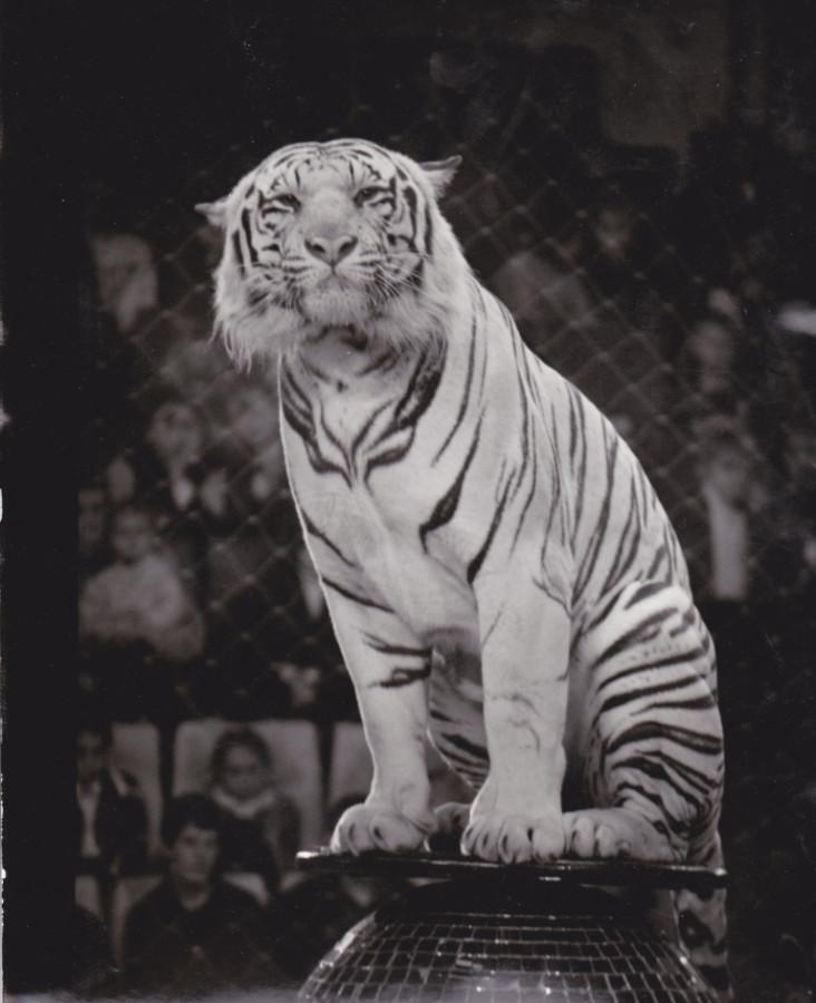 Его величество Тигр!