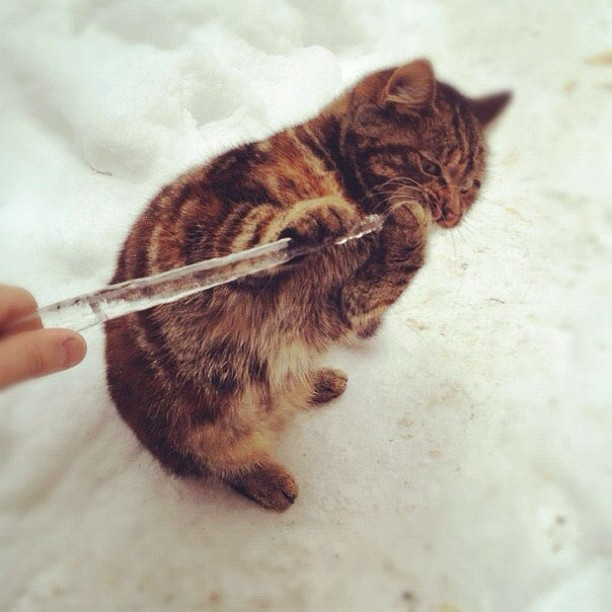 caticicle