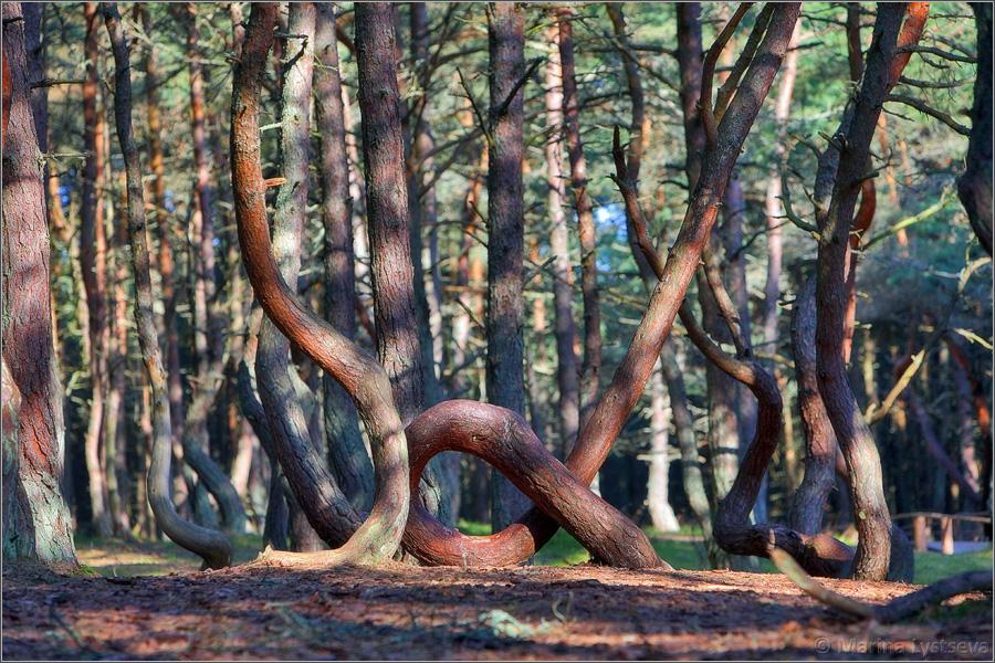 """13 сен 2011. Танцующий лес – это уникальное природное явление. Сосны в этом лесу изгибаются в причудливых """"позах"""", как будто в танце. Некоторые стволы даже свиты в кольцо. Считается, что если человек пролезет сквозь такое кольцо, загадав желание, то оно сбудется. Другое поверье гласит, что."""