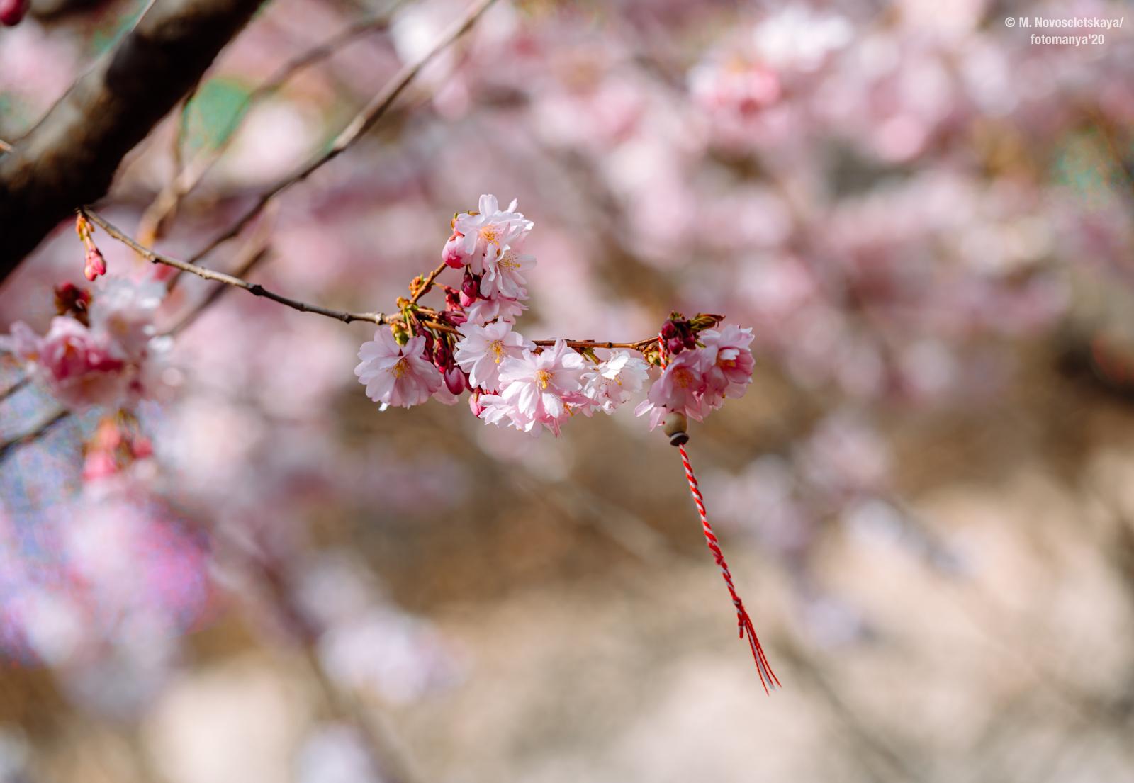Когда цветет сакура