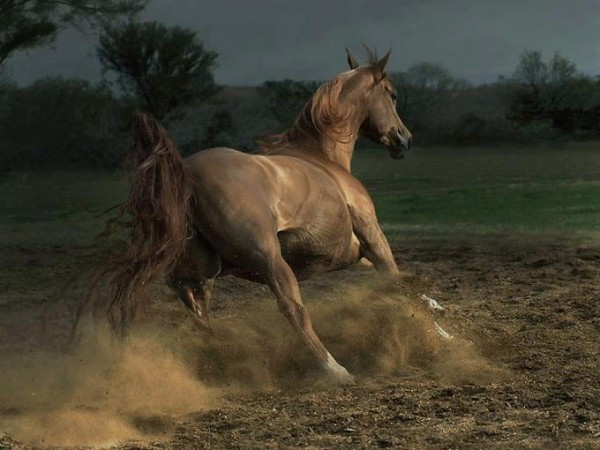 The chestnut mare1