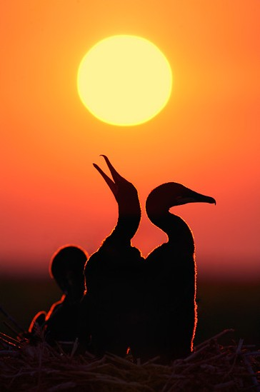 600x700xcormorant-dawn.jpg.pagespeed.ic.oR59fNsFuD