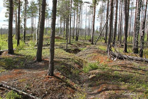 Финские траншеи вдоль болота