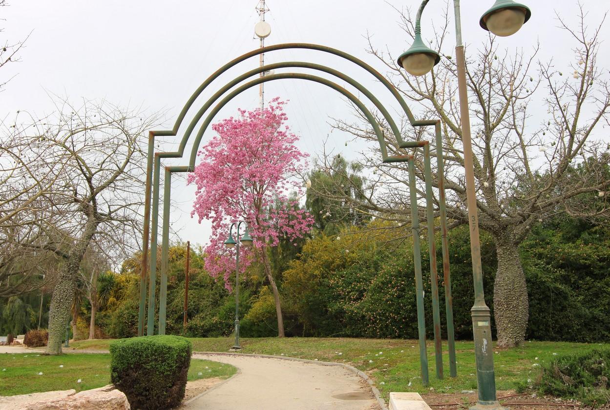 ватное дерево