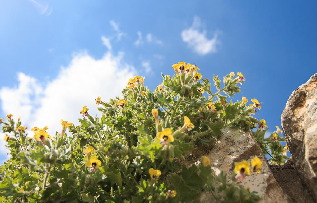 Цветы на Голанах golan_012.jpg