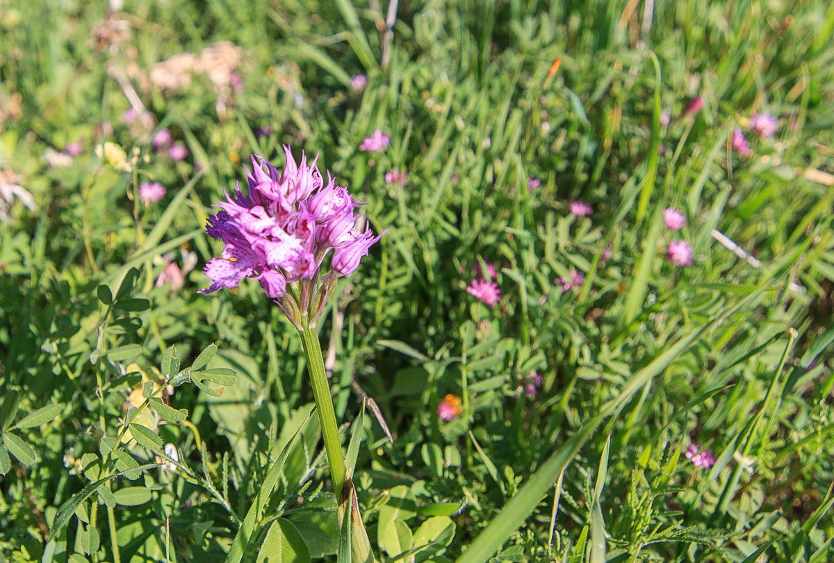 Цветы на Голанах golan_019.jpg