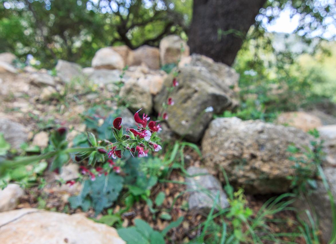 Цветы на Голанах golan_020.jpg
