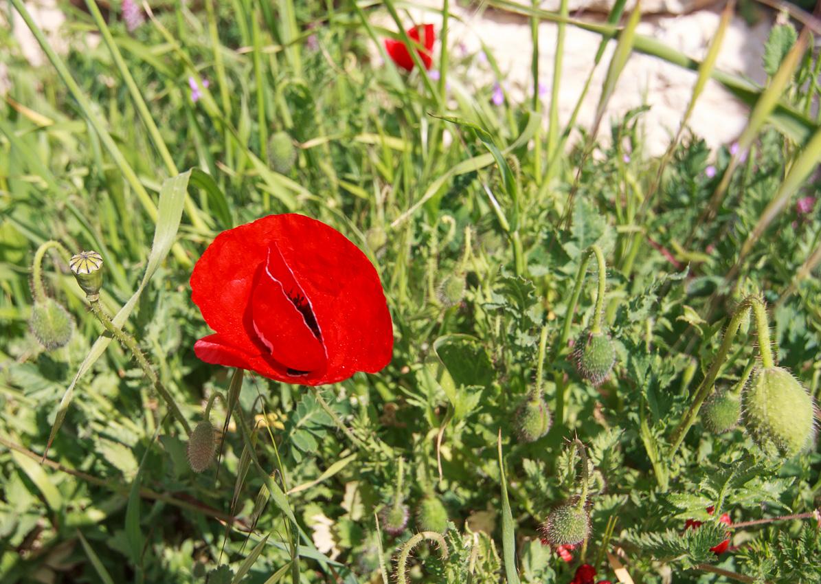 Цветы на Голанах golan_022.jpg