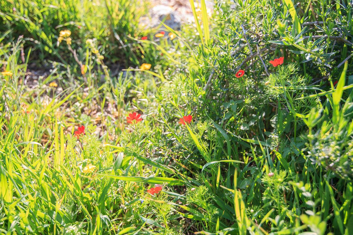 Цветы на Голанах golan_023.jpg