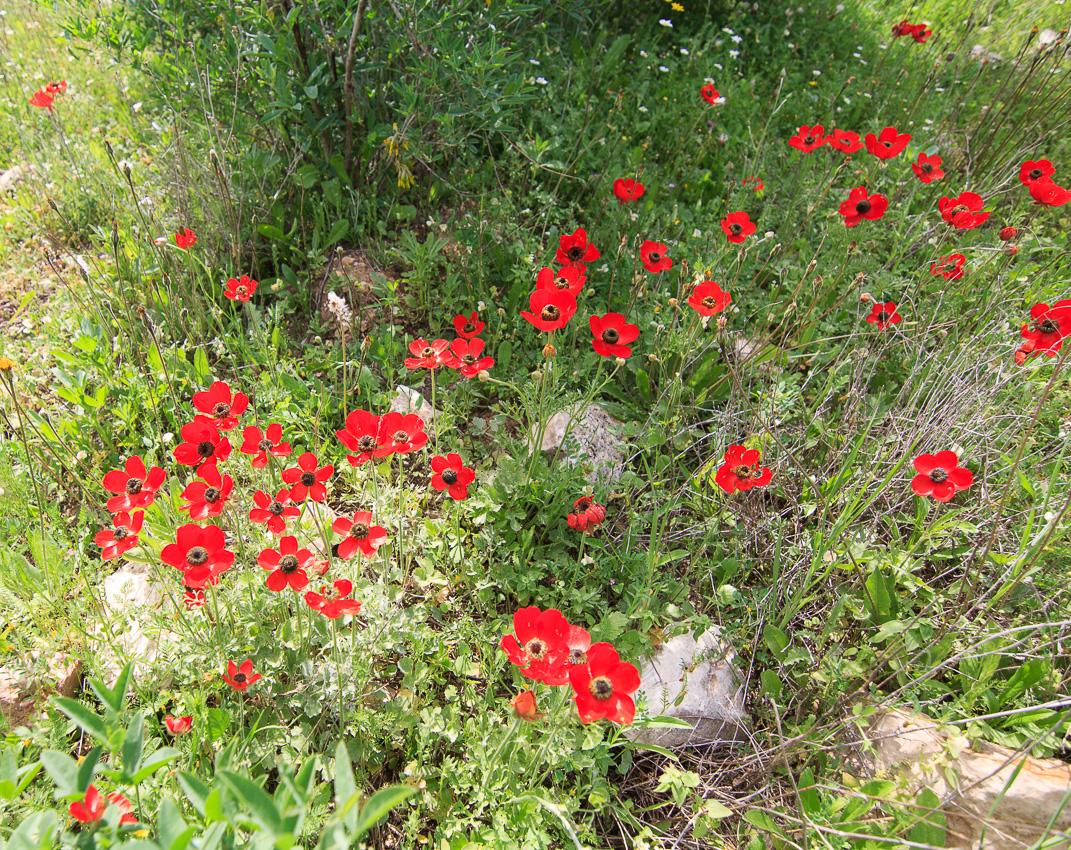 Цветы на Голанах golan_024.jpg