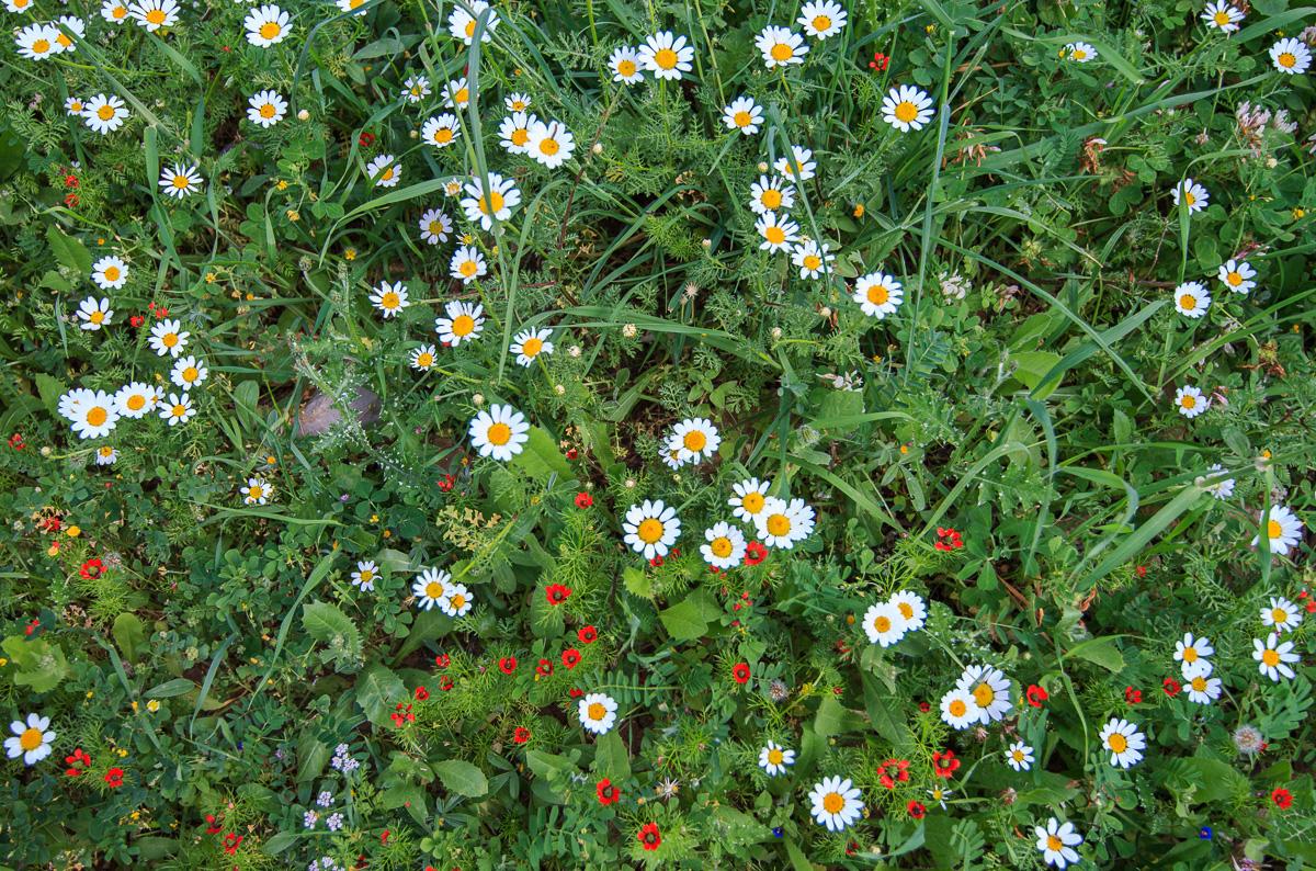 Цветы на Голанах golan_025.jpg