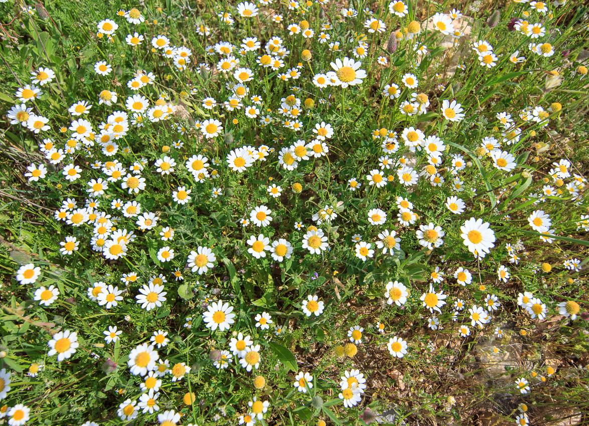 Цветы на Голанах golan_030.jpg