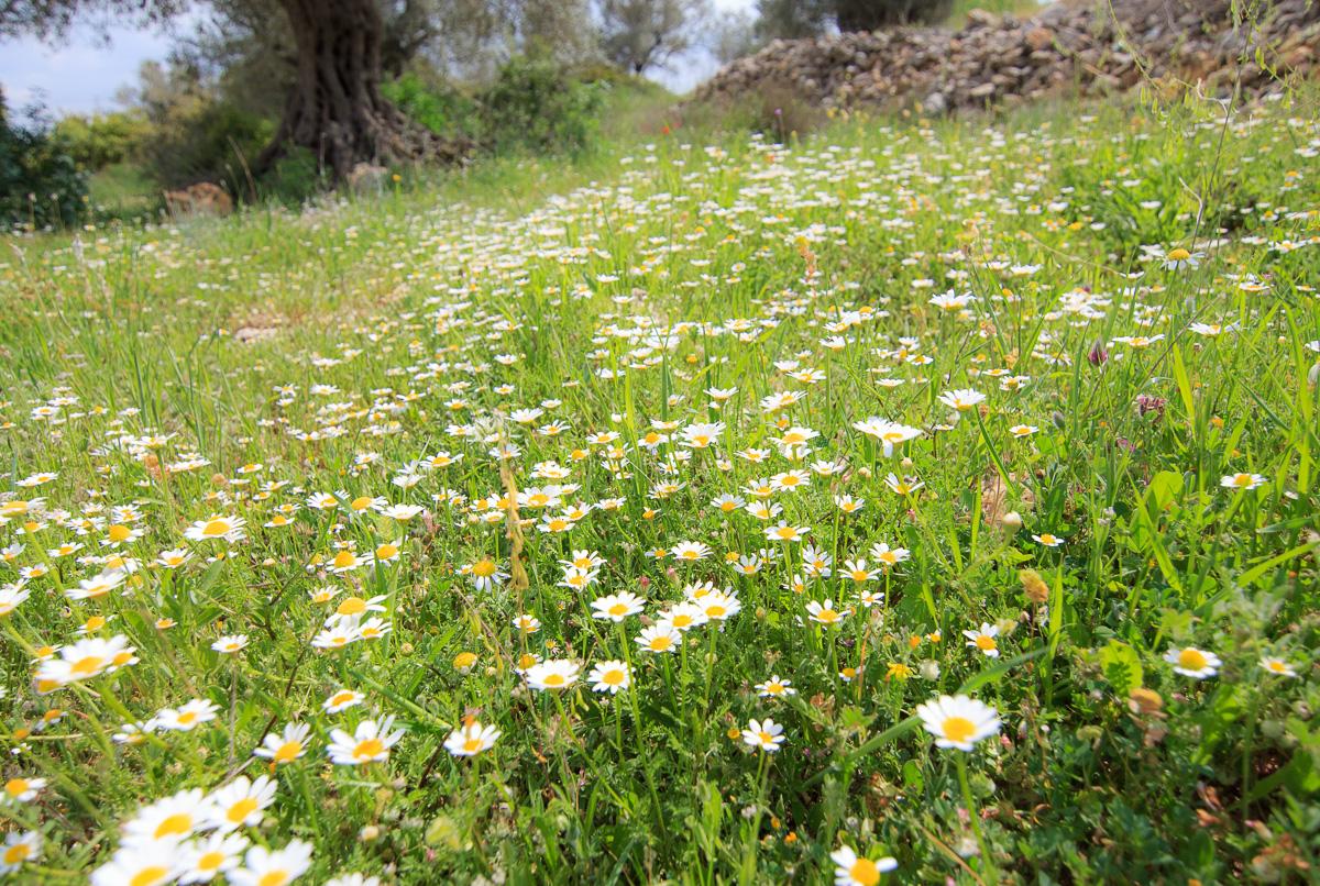 Цветы на Голанах golan_031.jpg