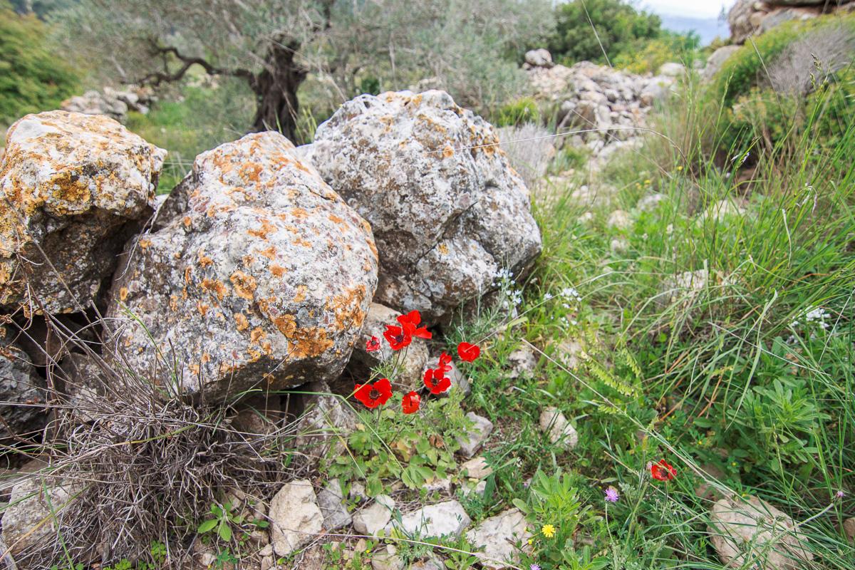 Цветы на Голанах golan_033.jpg