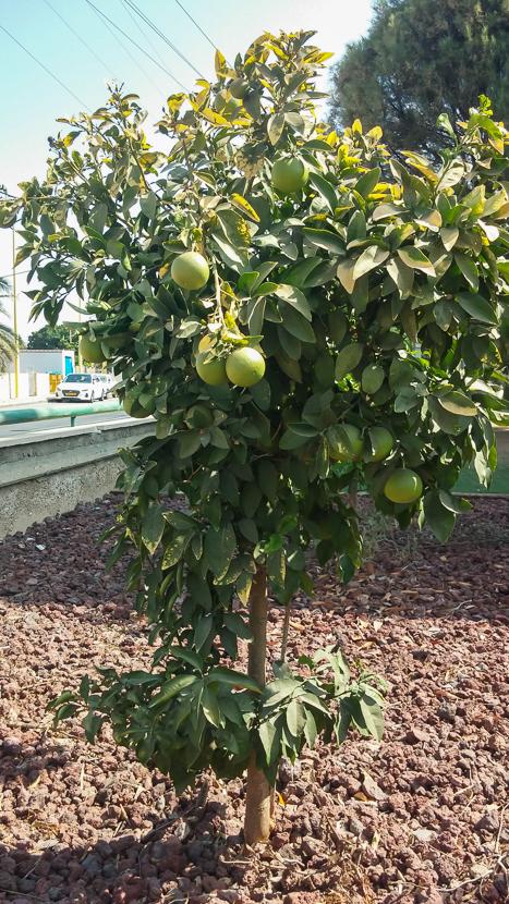 Совсем маленькое мандариновое дерево отменно плодоносит