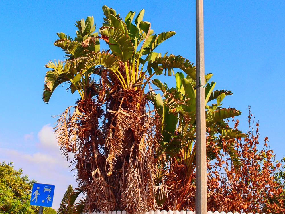 Банановая пальма высыхает снизу