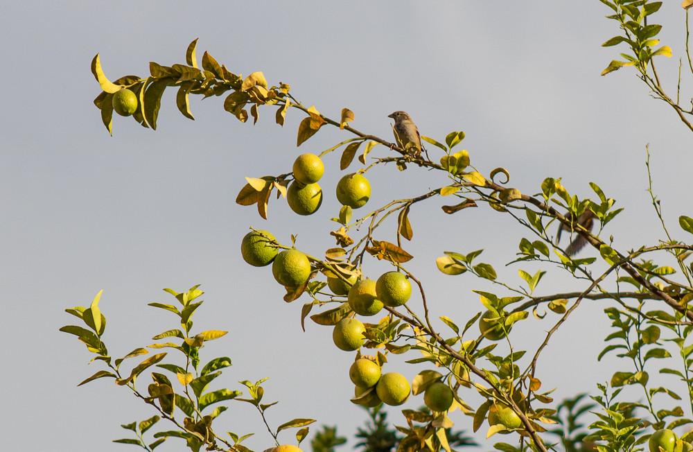 Цитрус - вечнозеленый