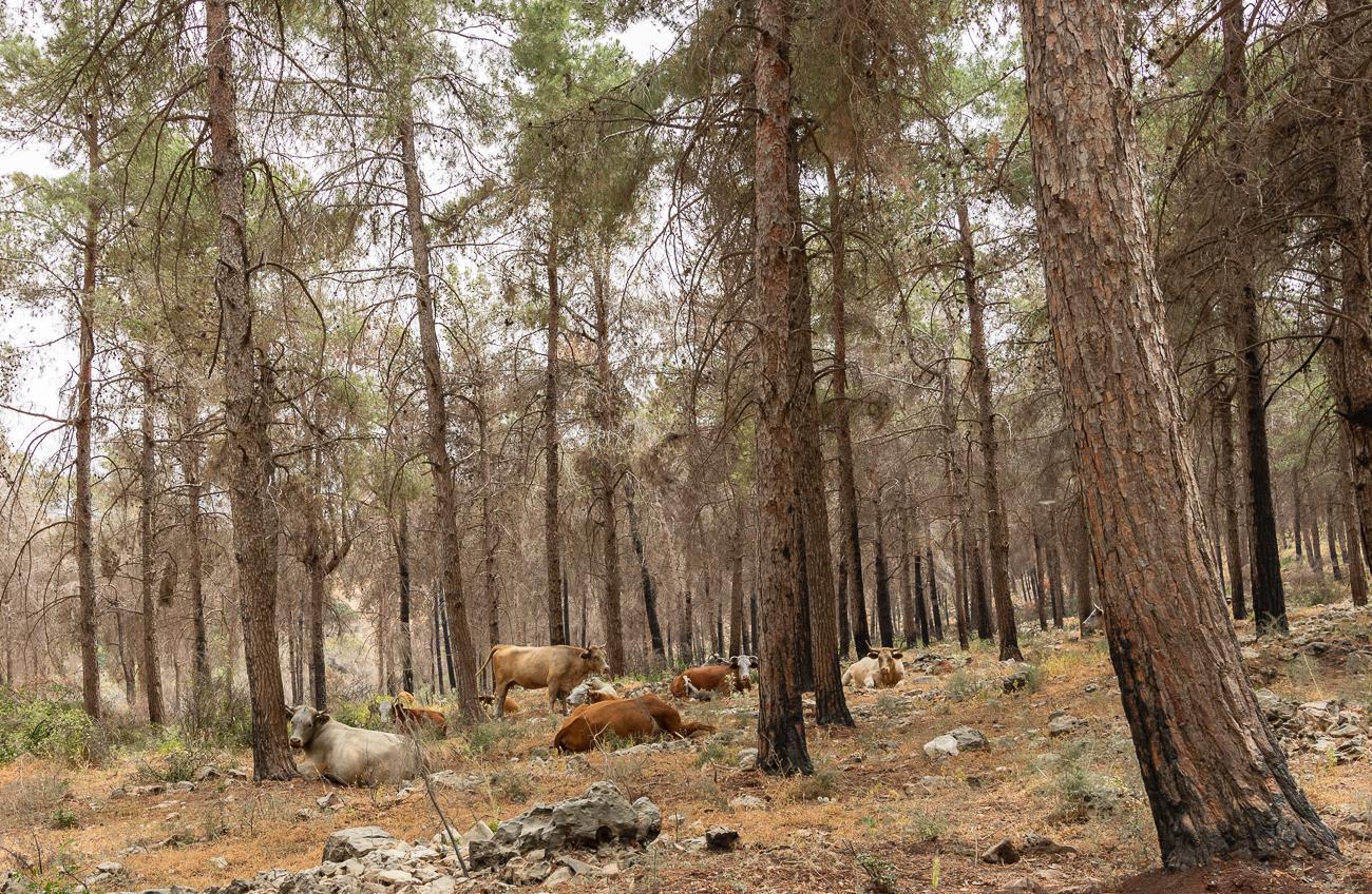 Лесные коровы и другая живность