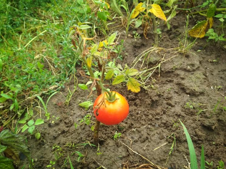 Карликовый помидор