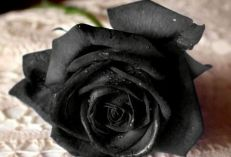 chernye-rozy-pechal-ili-elegantnost