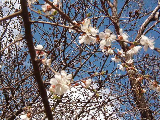 абрикос цветет.