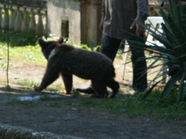 новоафонский медвежонок