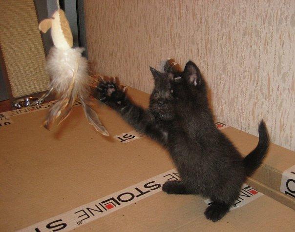 Вот такого малявку мне привезли. Освоился сразу и напал на мышь в перьях. Это его первые минутки дома.