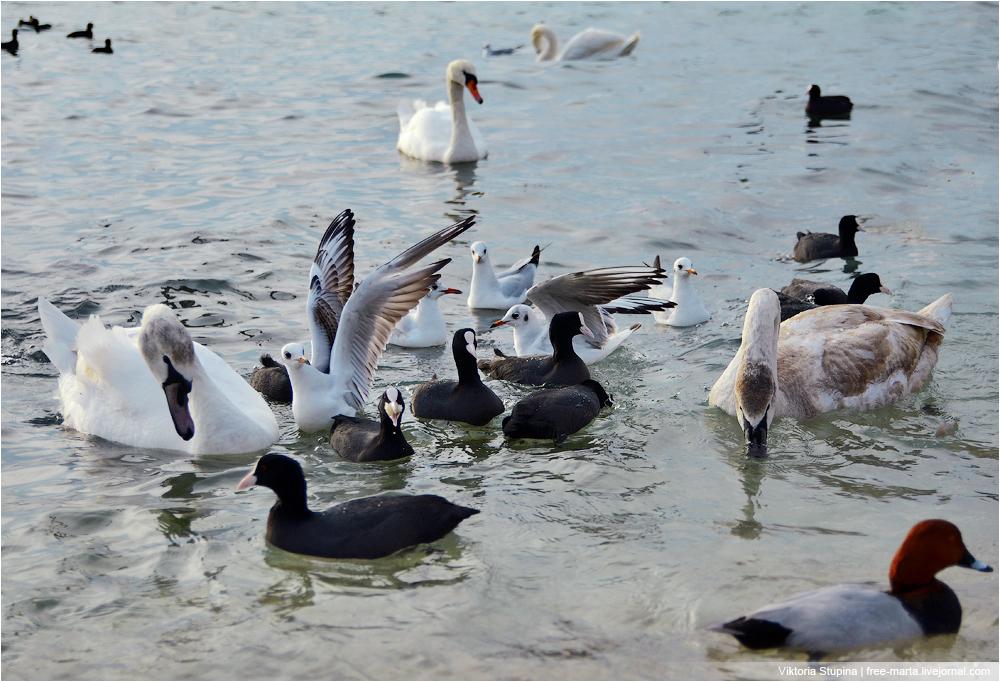 лебеди-в-севастополе