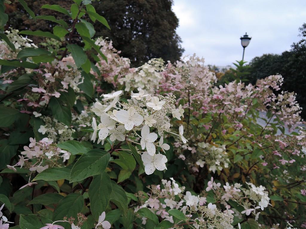 Сиреневый сад. Гортензия.