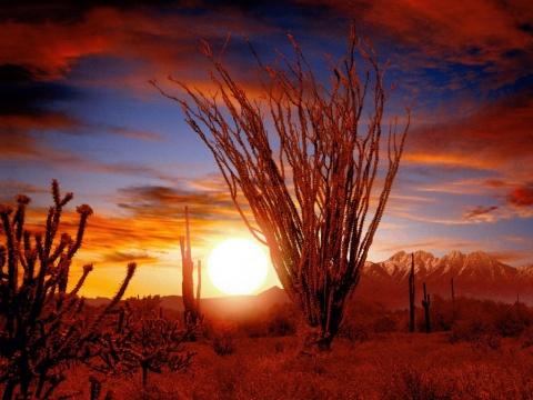 Цветущая окотилья на фоне заката