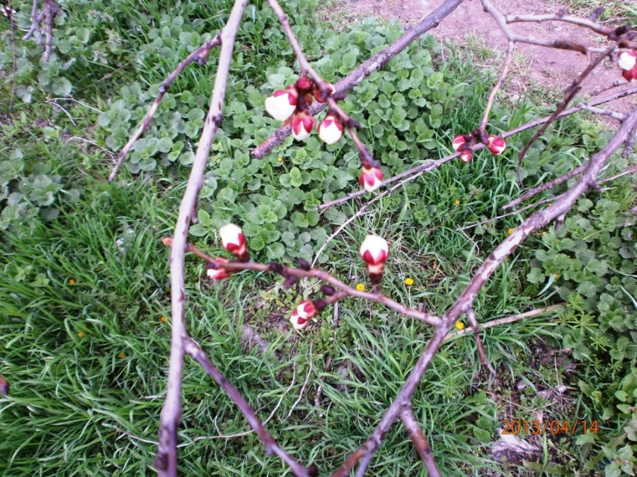 абрикосы цветут