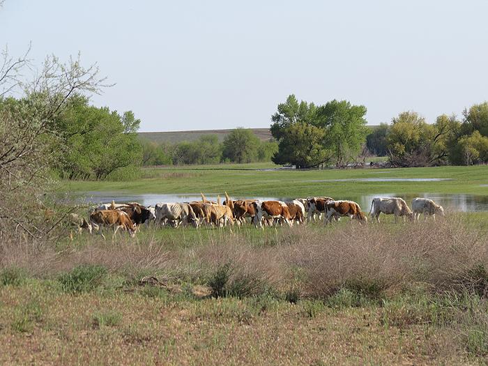 стадо коров