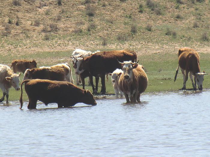коровы в воде