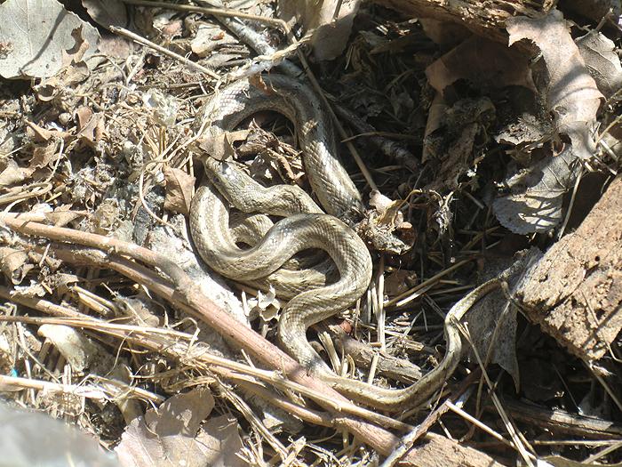 змеи под пеньком
