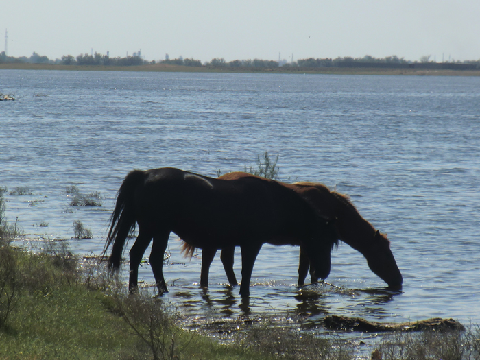 лошади пьют