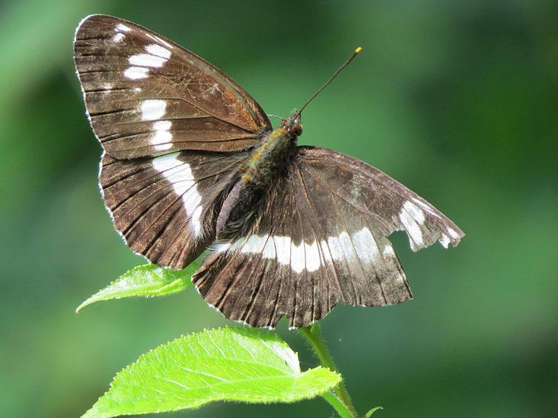 бабочка ленточник камилла